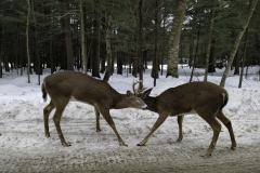 Two Bucks having a litttle fun in Thendara NY 1