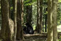 Mama Bear and her 2 cubs sitting in the woods in Thendara, NY 2